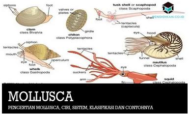 pengertian-mollusca
